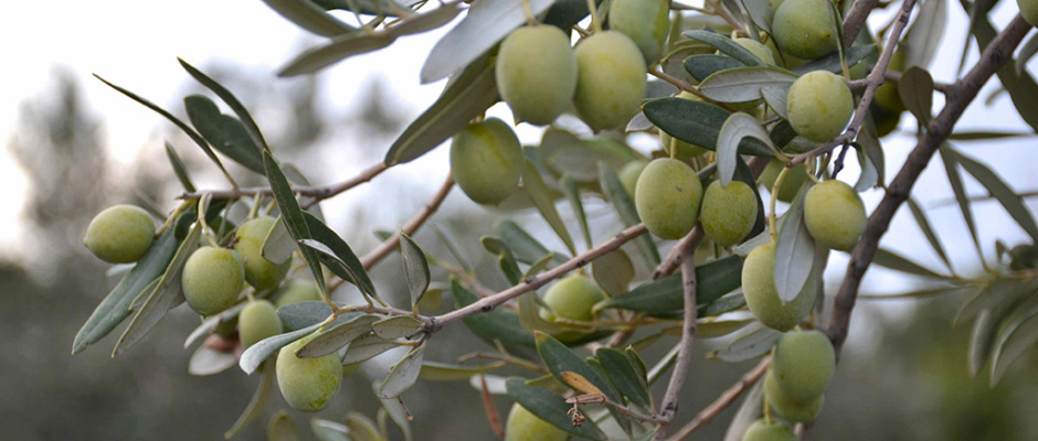 olive-trees-from-katerinas-olive-farm