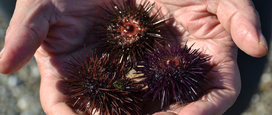 sea urchins katerina s kouzina