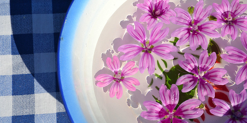 Picked-Malva-Sylvestris-flower-first-of-May
