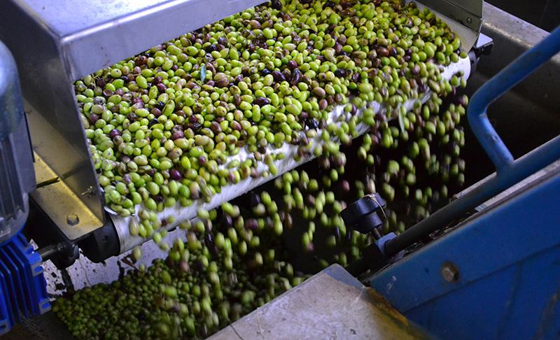 Cleaning-the-olives-in-the-factory