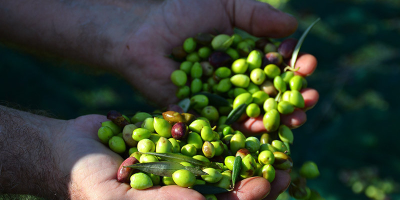 Olive-picking-experience