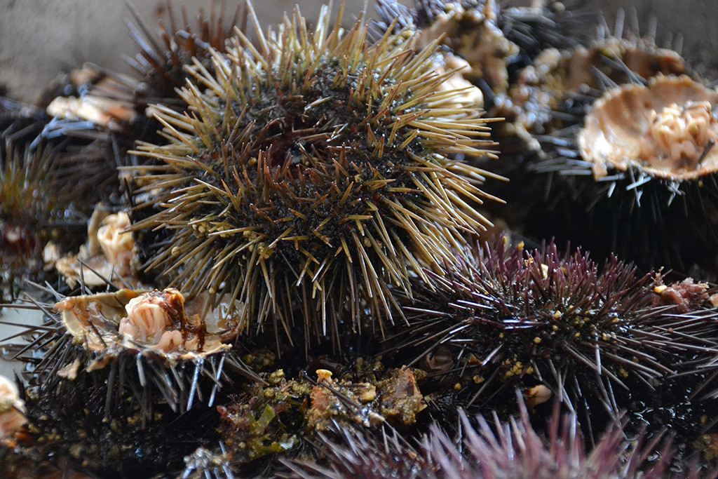sea-urchins-are-eaten-on-clean-monday