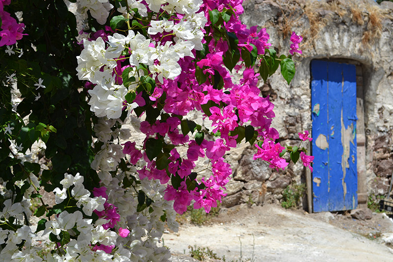 Bougainville-in-Poros-town-first-of-Mayjpg