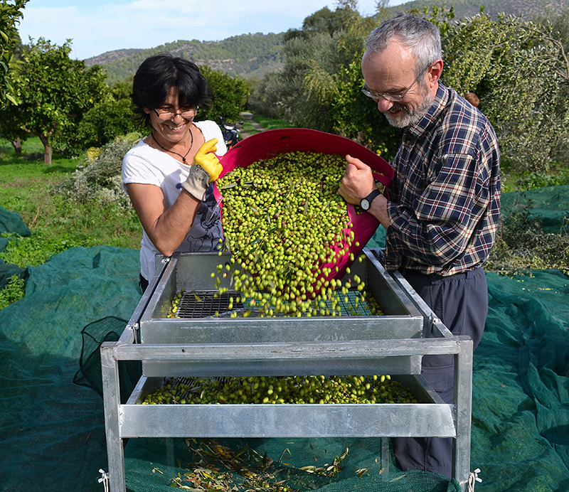 Olive-picking-week-odyssey