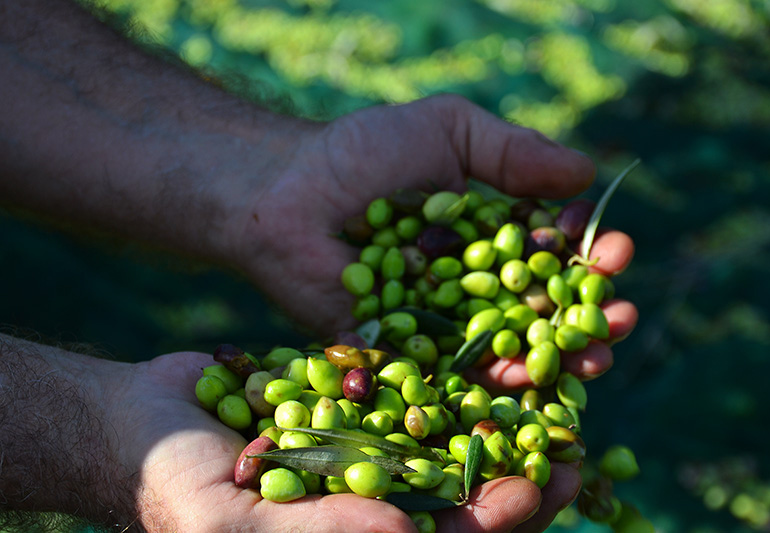 Olive-picking-week