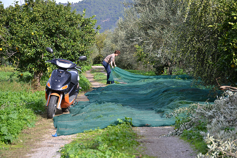 Putting-down-the-olive-nets