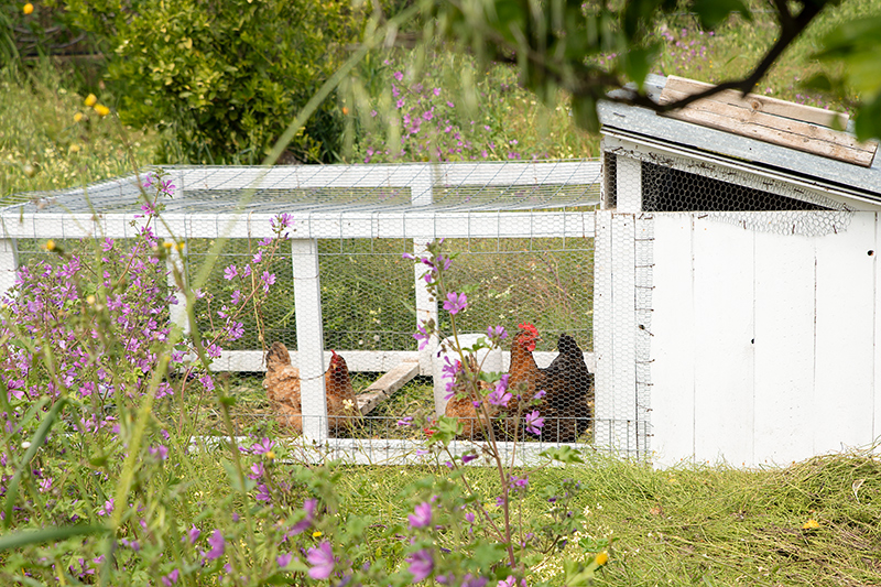Katerina's chickens