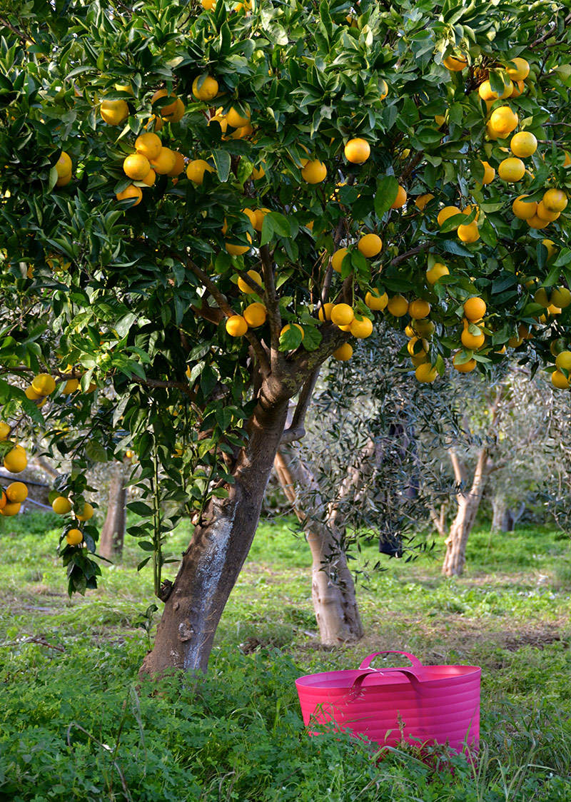 Oranges on Katerina's farm Greece