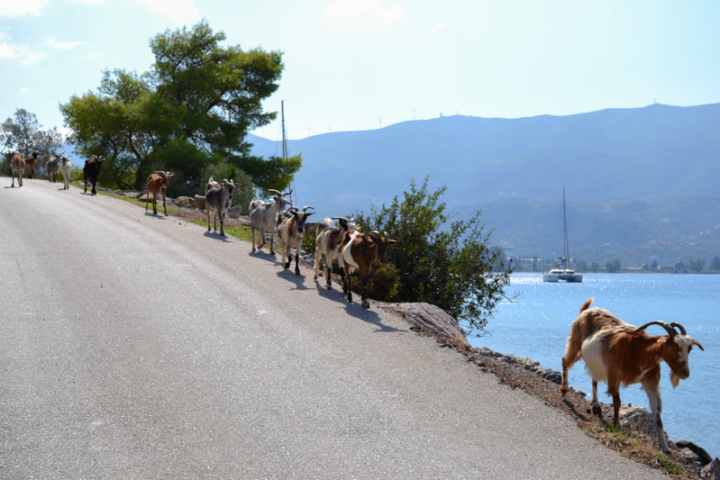 Goats taking over the road