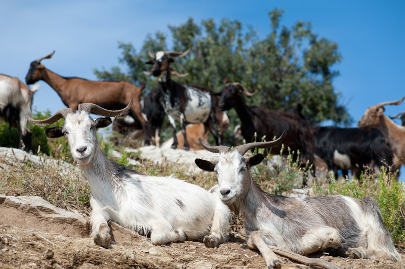 Greek goats